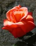 rose-rouge.w.jpg