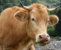vache.w.jpg